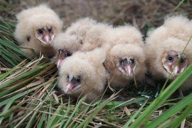 鹰身鹰爪一张猴脸 绵阳发现国家二级保护动物猴面鹰