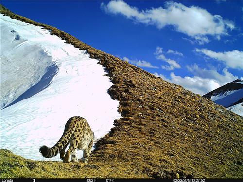 甘孜州新龙境内的雪豹