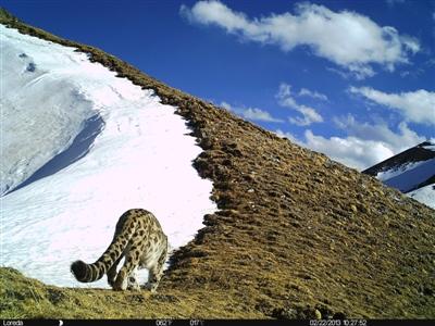 在甘孜新龙发现的雪豹