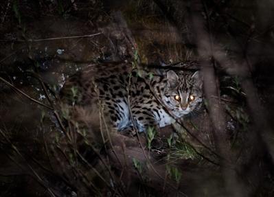在甘孜新龙发现的豹猫