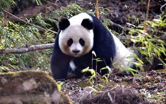 七彩唐家河 大熊猫在召唤