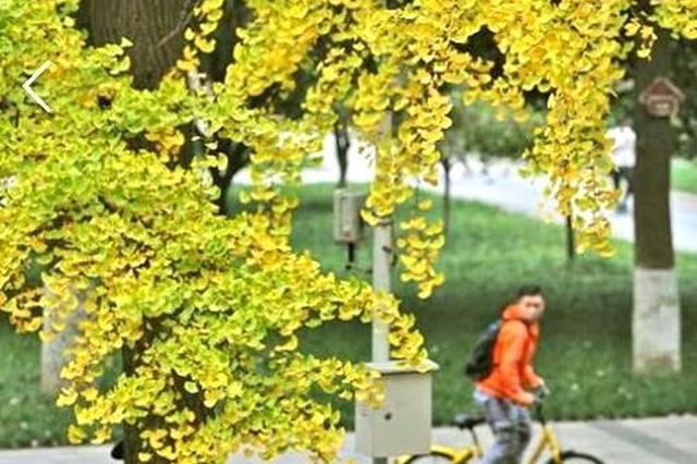 好消息 本周末四川盆地天气晴好赏银杏正当时