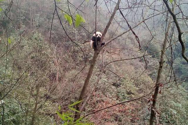 野生大熊猫疑似下山找对象 被村民近距离偷拍