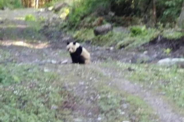 """四川北川野生大熊猫""""散步"""" 巡山人拍下29秒视频"""