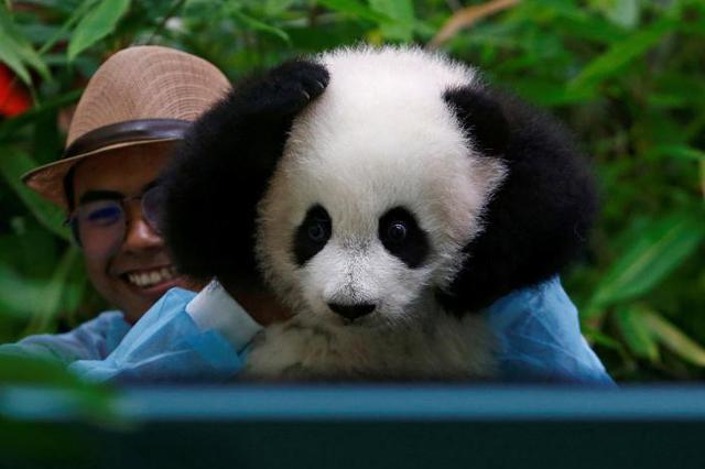 """保护者""""眼""""中的野生大熊猫:现在要见你也很容易"""