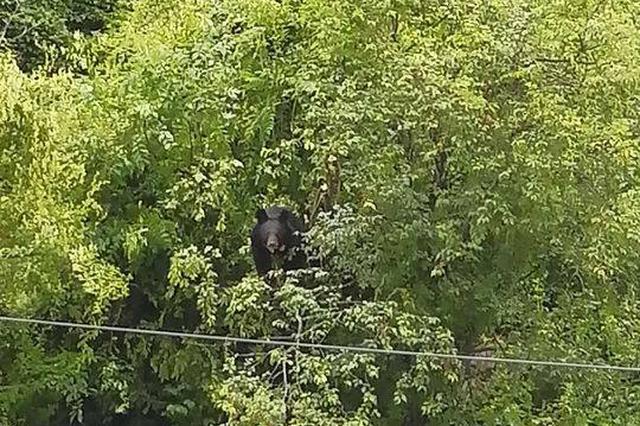 熊出没!四川康定城区现亚洲黑熊 淡定与市民对望