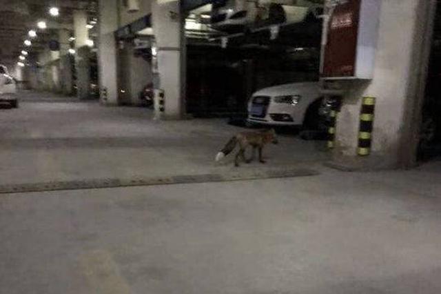 成都小区出现狐狸吓坏业主 保安:已被失主带走