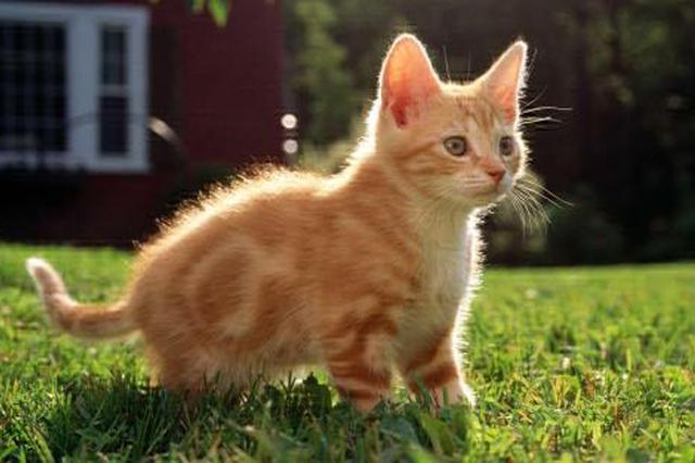 猫咪为情所困频频越狱受伤 这两天应多陪伴
