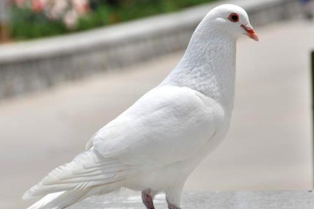 信鸽扰民 城管中队长被警告处分