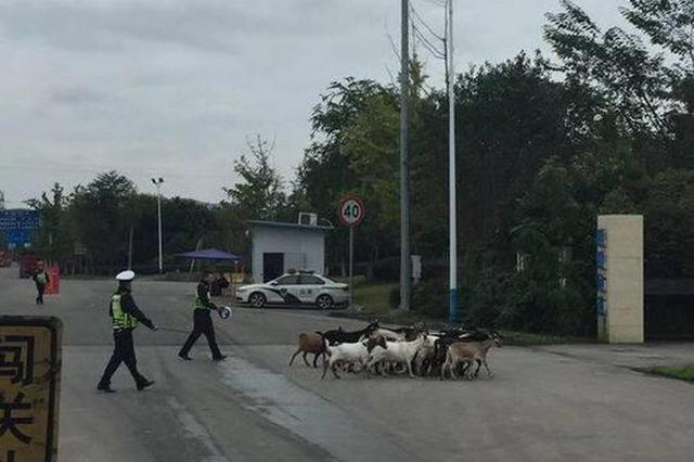"""一群山羊躥進綿遂高速路 高速交警客串""""羊倌""""趕羊"""