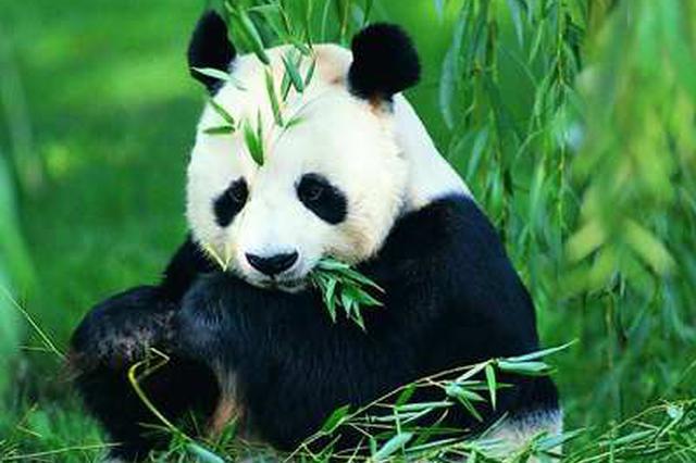 正式挂牌!四川组建七个大熊猫国家公园管理分局
