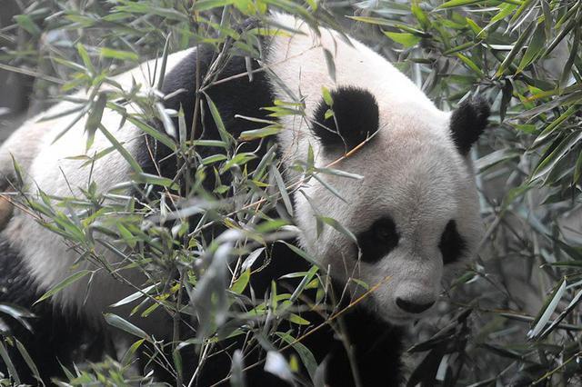 四川将在成都、雅安、平武试点建大熊猫文创产业园