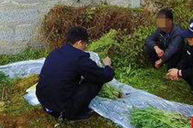 种罂粟当下饭菜吃 南充两村民分别被行拘3天