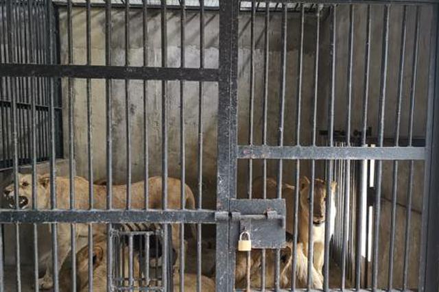 10只南非幼狮抵川进行30天隔离检疫 系四川首次大规模引进