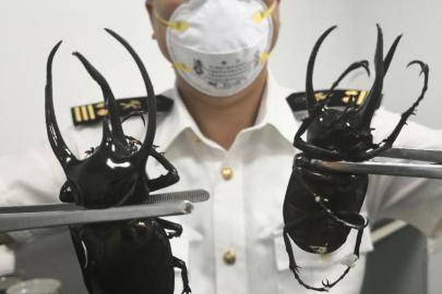 成都海关在国际邮件中截获南洋大兜虫和黄金鬼锹