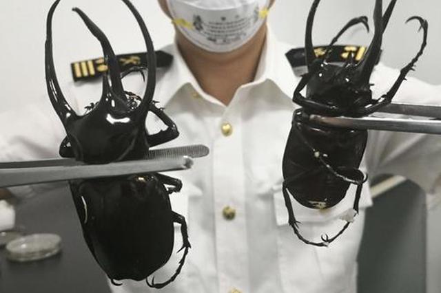 成都海关截获南洋大兜虫 提醒:此类宠物禁止入境