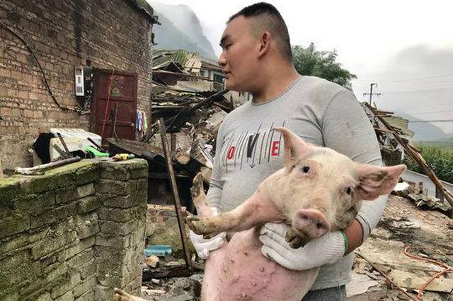 """猪圈因地震垮塌300多头猪猪被埋 消防员助村民营救""""二师兄"""""""