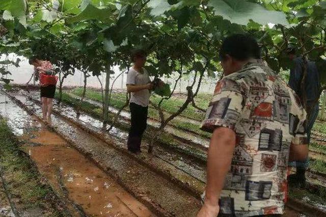 广元一葡萄园被淹 20多名邻居赶30公里路帮忙采摘
