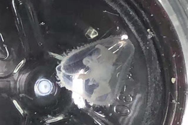 都江堰又见桃花水母 发现地:都江堰市莲花湖