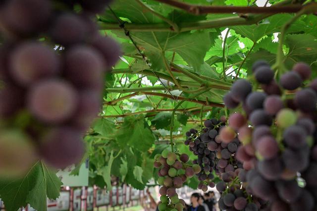 建设现代农业10+3产业体系 四川出大招了