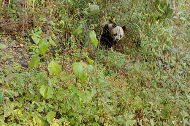 两次邂逅野生大熊猫的村民喊话了:它de尾巴是白的!