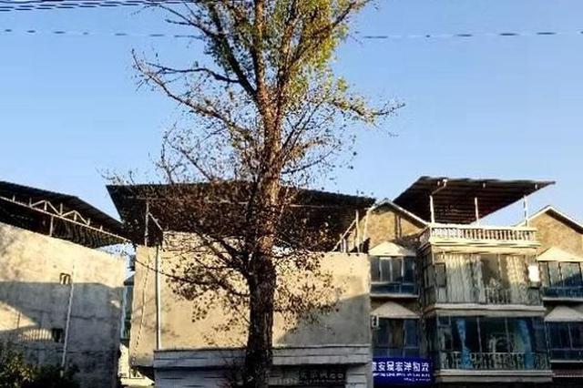 汉源国道旁大树掉枯枝影响安全 修个枝咋就这么难?