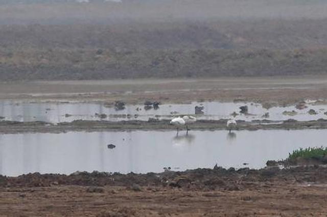 好久不见!野生小天鹅造访兴隆湖 距离上次记录已有40年