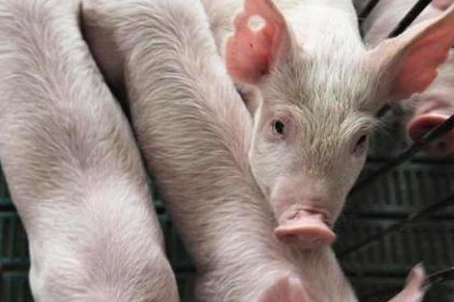 农业农村部:猪肉价格连续12周下降 生猪生产继续恢复