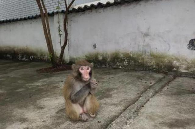 """""""大师兄"""" 偷偷溜进校园 系国家二级保护动物猕猴"""