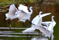 大群白鹭飞回新津速来围观