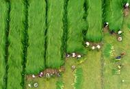 蔺草收割季