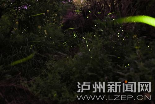 """泸州张坝桂圆林现""""浪漫萤火"""""""