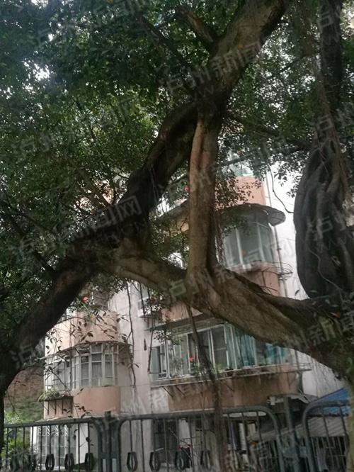 泸州这两棵树相伴20多年