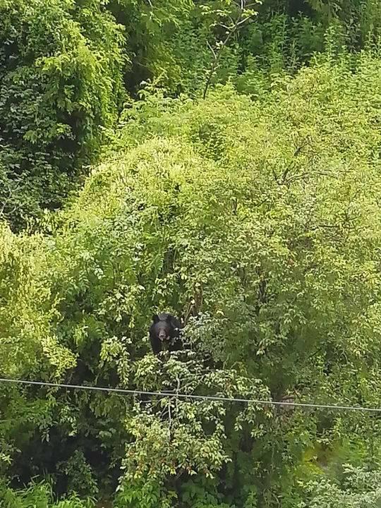 四川康定城区即兴亚洲黑熊