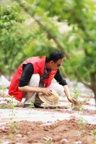 脆红李下的周义双,精心呵护套种的每一株蔬菜幼苗。 图片提供 周义双