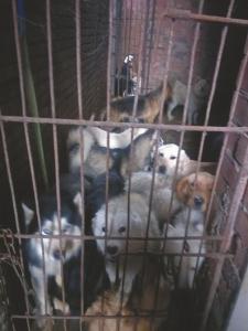 被关押的狗狗中明显有宠物犬。