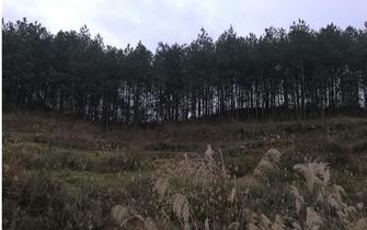 达州不再使用松科植物造林