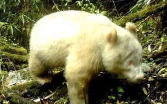 卧龙拍摄到白色大熊猫
