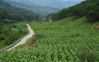 德昌:傈僳族村民种植烤烟走上致富路