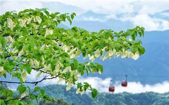 洪雅瓦屋山杜鹃进入盛花期 吸引八方游客前来打卡