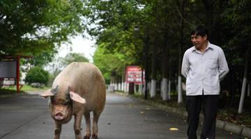 汶川地震猪坚强伤病痊愈