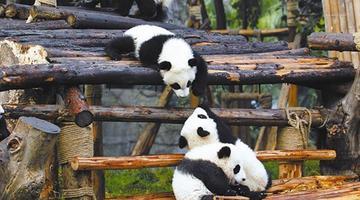 成都将大手笔打造熊猫之都