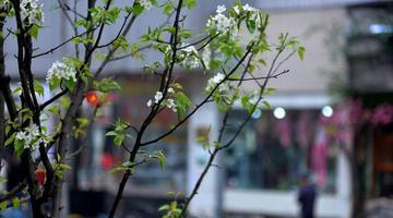 成都梨花街的梨花开了