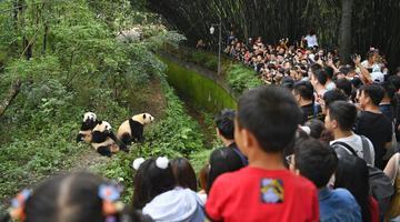 大熊猫繁育研究基地迎来中秋客流高峰