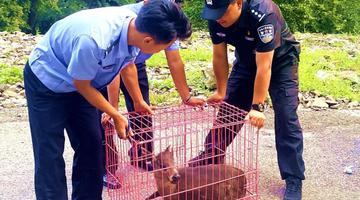 毛冠鹿误闯四川一农家院受伤