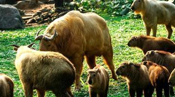 丹巴县域有成群野生羚牛