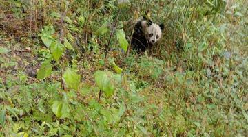 两次邂逅野生大熊猫的村民喊话了