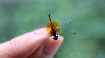 四川发现世界最小蜻蜓个体