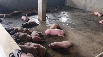 养猪场烧煤取暖遭遇意外 近百头猪死亡