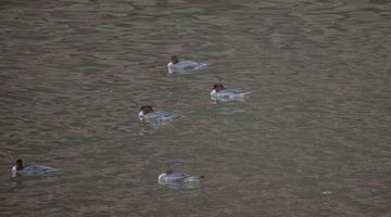 芦山:中华秋沙鸭首次现身城中水域